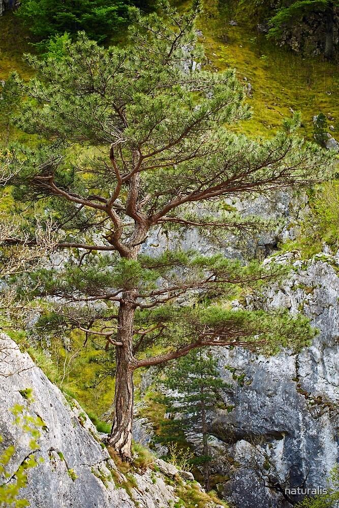 Pinus nigra on mountains peak by naturalis