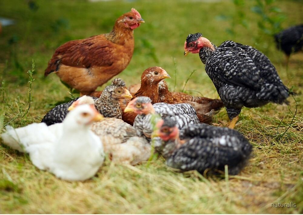 Free range chicks by naturalis