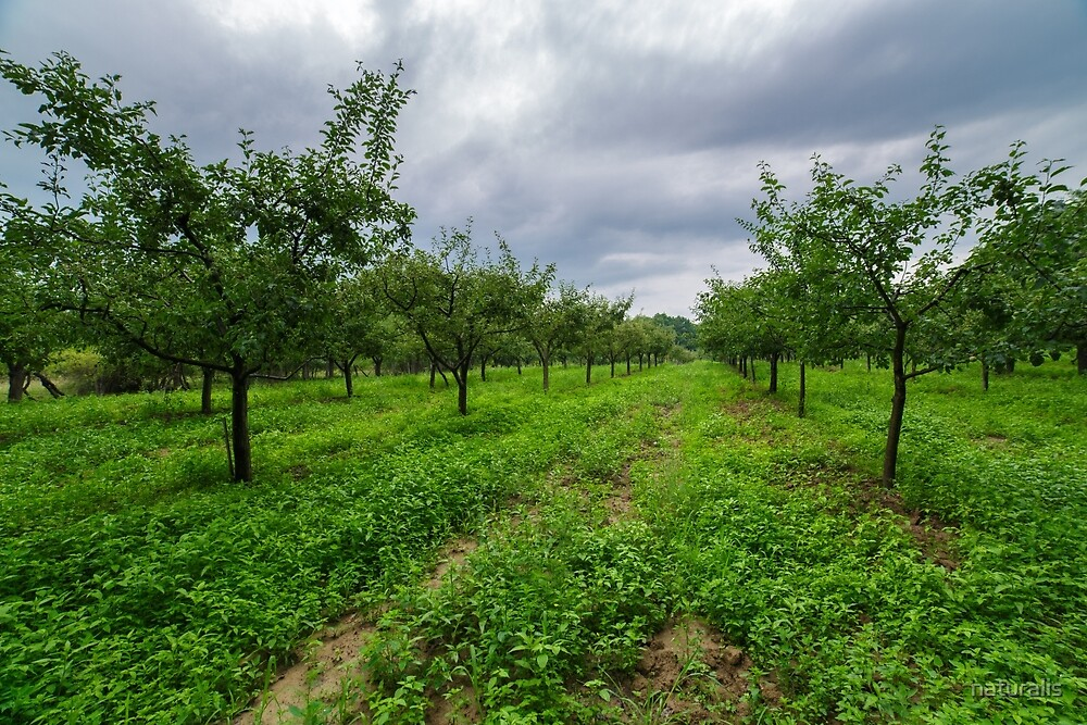 Plum trees orchard by naturalis