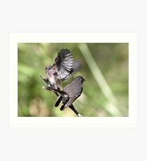 Grey Fantail and chick ~ Just A Bench Test Dad  Art Print