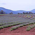 Lavendar Farm by pennyswork