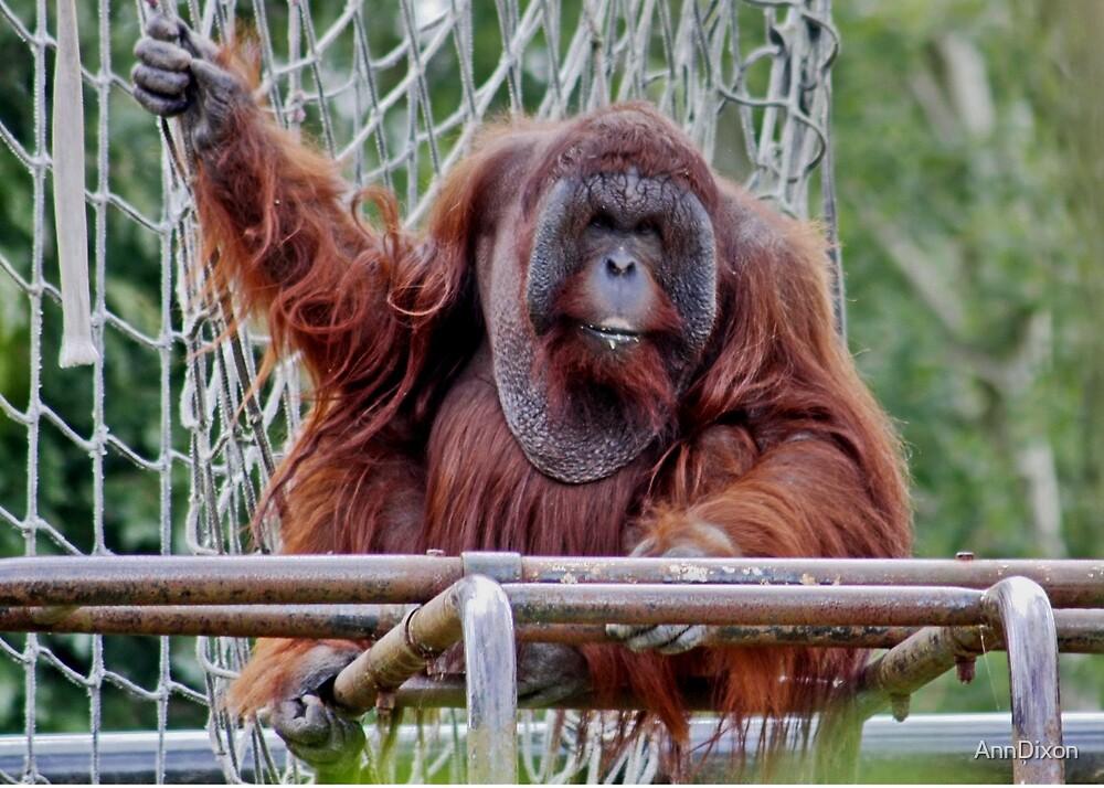 Orangutan by AnnDixon