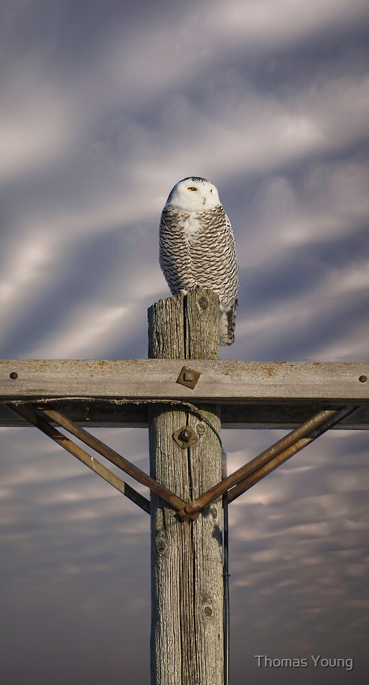 Dynamic Snowy Owl by Thomas Young