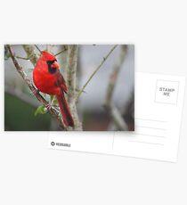 Northern Cardinal Postcards