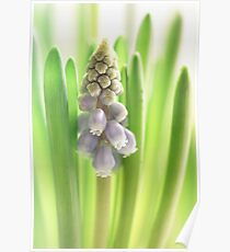 Grape Hyacinth 2014 my first this year....  Poster