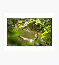 Black-Crowned Night-Heron Art Print