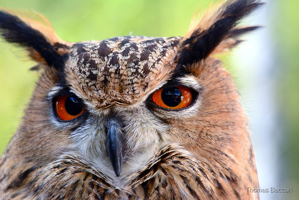 Eagle Owl Up Close by TJ Baccari Photography