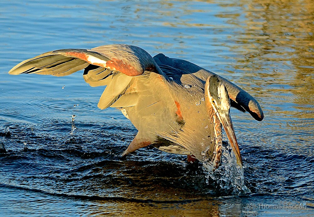 Great Blue Heron Dives for the Fish by TJ Baccari Photography
