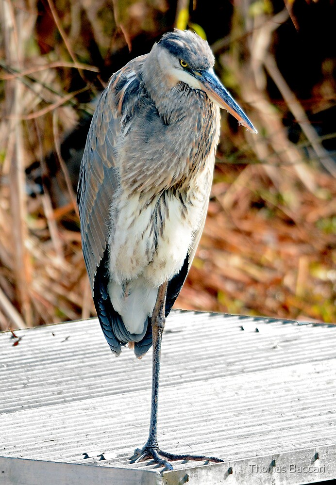 Great blue Heron Resting His Leg by TJ Baccari Photography