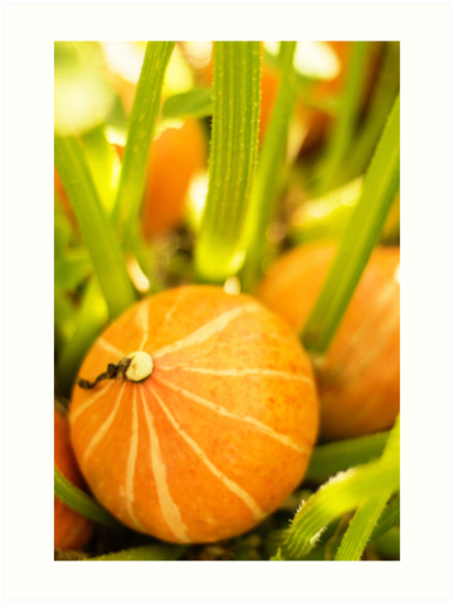 Pumpkin Patch by Belinda Osgood