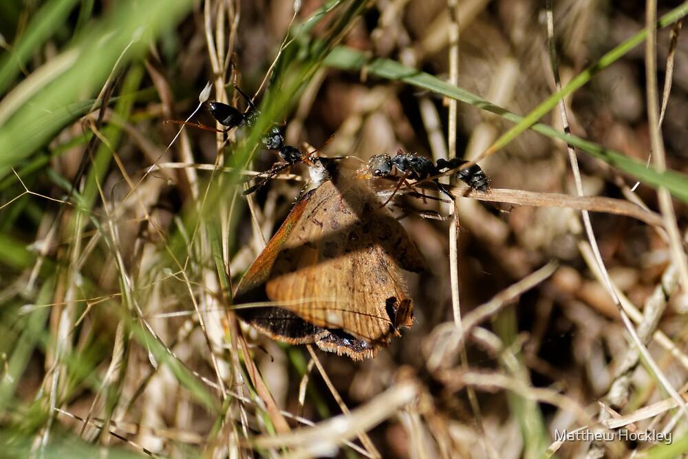 Jack Jumpers (Myrmecia Pilosula) Ants by Matthew Hockley