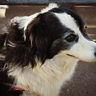 Tibby The Border Collie  by Vicki Childs