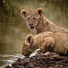 Lion Cubs by Robert van Koesveld