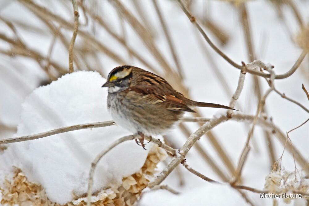 White-Throated Sparrow - Zonotrichia albicollis  by MotherNature