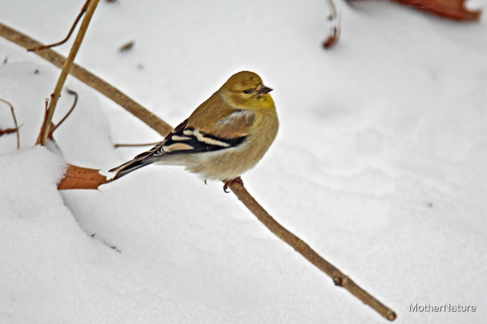 American Goldfinch - Spinus tristis  by MotherNature