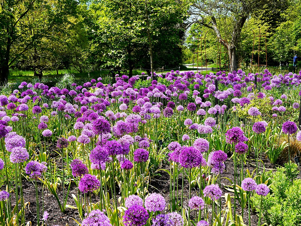 A Display of Alliums  by hootonles