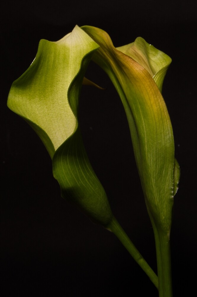 Green Lily  by eagnew1
