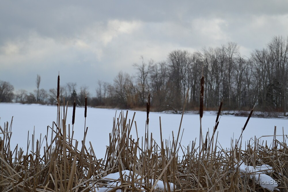 Typha - Cattails by snow365