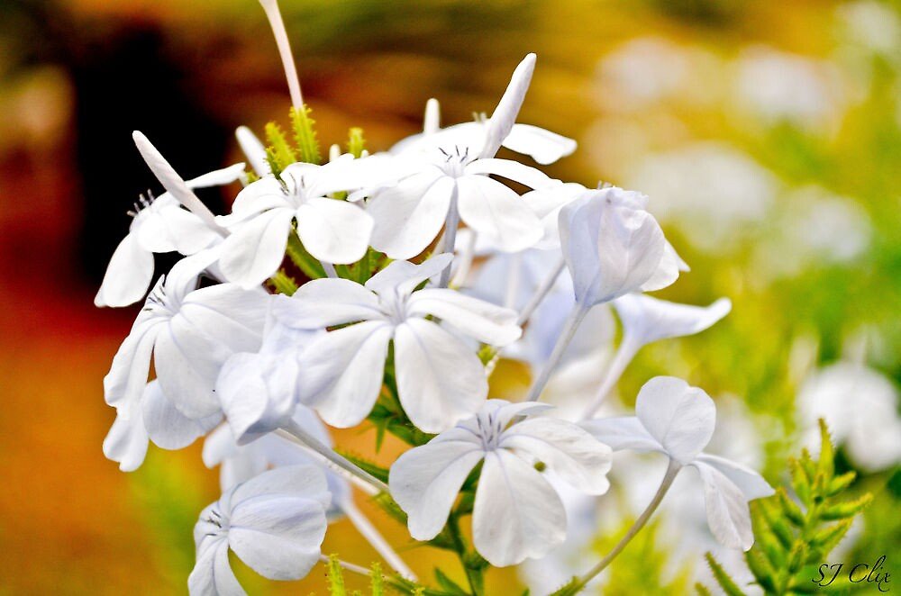 White Flower by sjclix