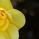 """""""Yellow Rose"""" by BlackDove1128"""