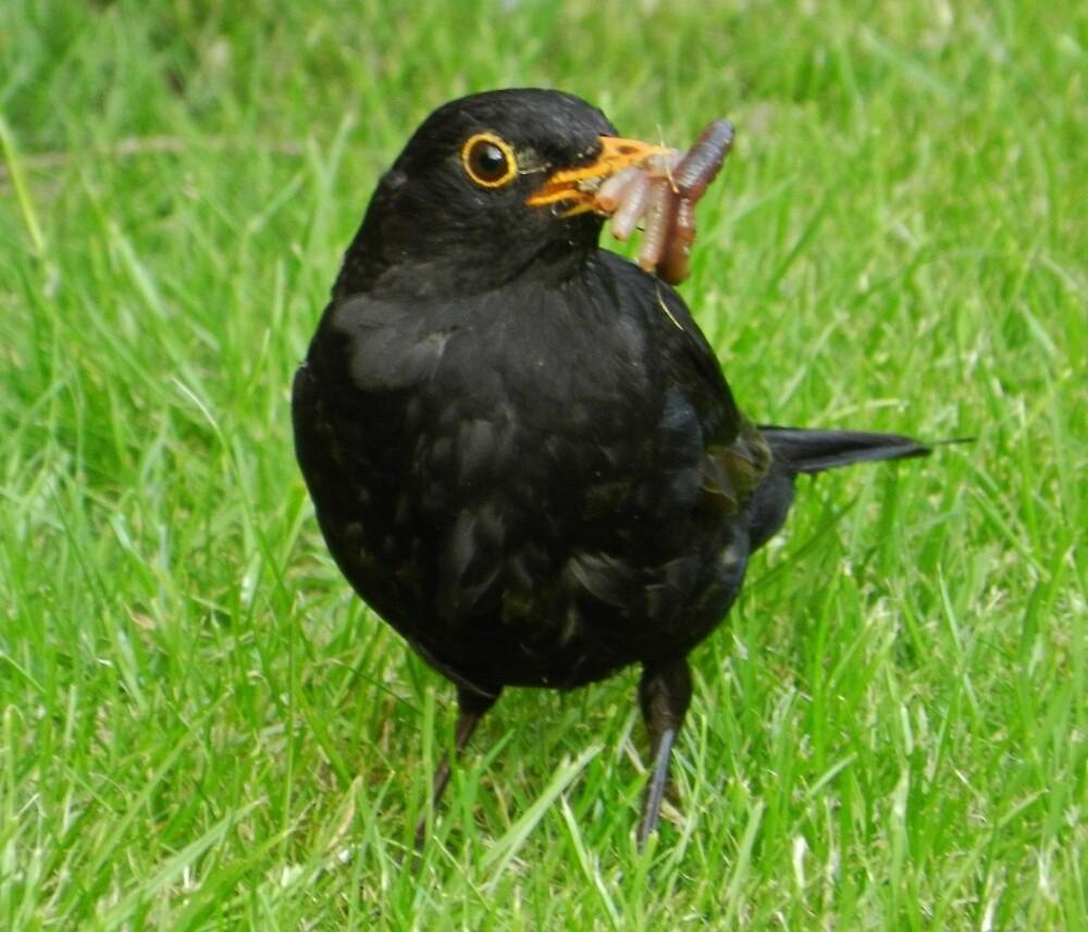 blackbird by TOFFS