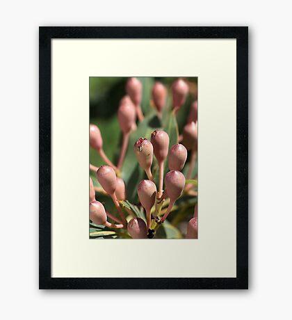 flower-Eucalyptus-buds Framed Print