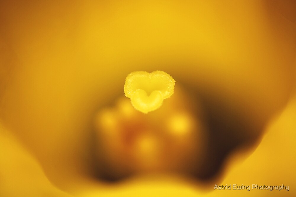 Daffodil Kisses by Astrid Ewing Photography