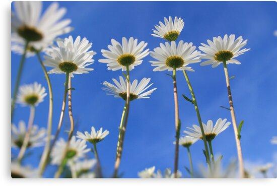 Summer Daisies by Ceri Jones