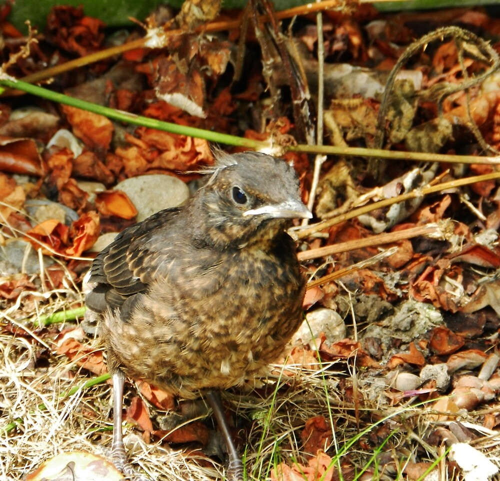 Baby Blackbird by TOFFS