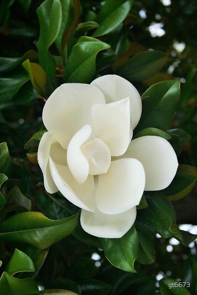 Magnolia by gt6673
