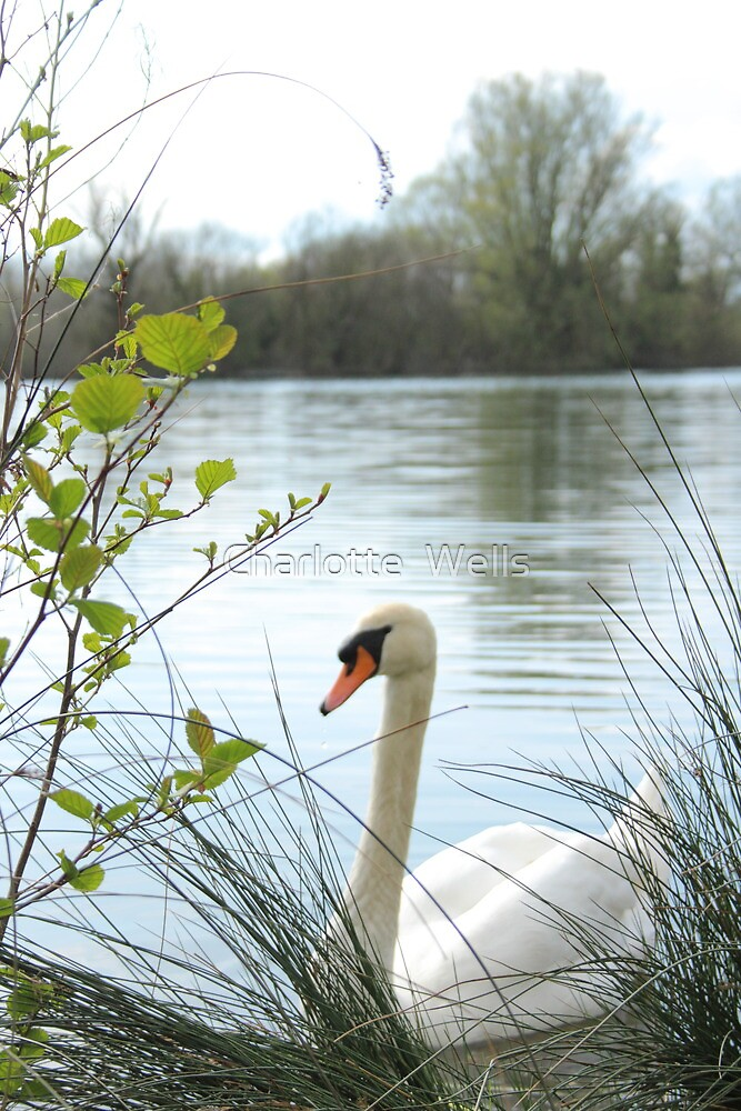 Swan on a lake by Charlotte  Wells