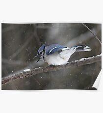 Blue Jay - Cyanocitta cristata  Poster