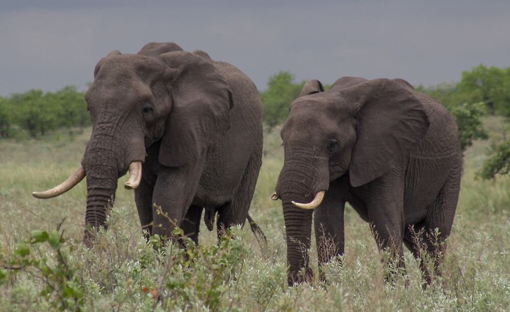 African Elephants by Petra Holland