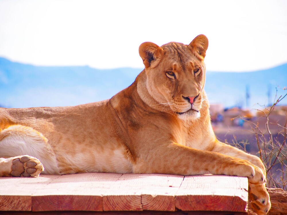 Lioness 2 by Jenna Boettger Boring
