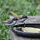 White-Naped Honeyeaters by Meg Hart
