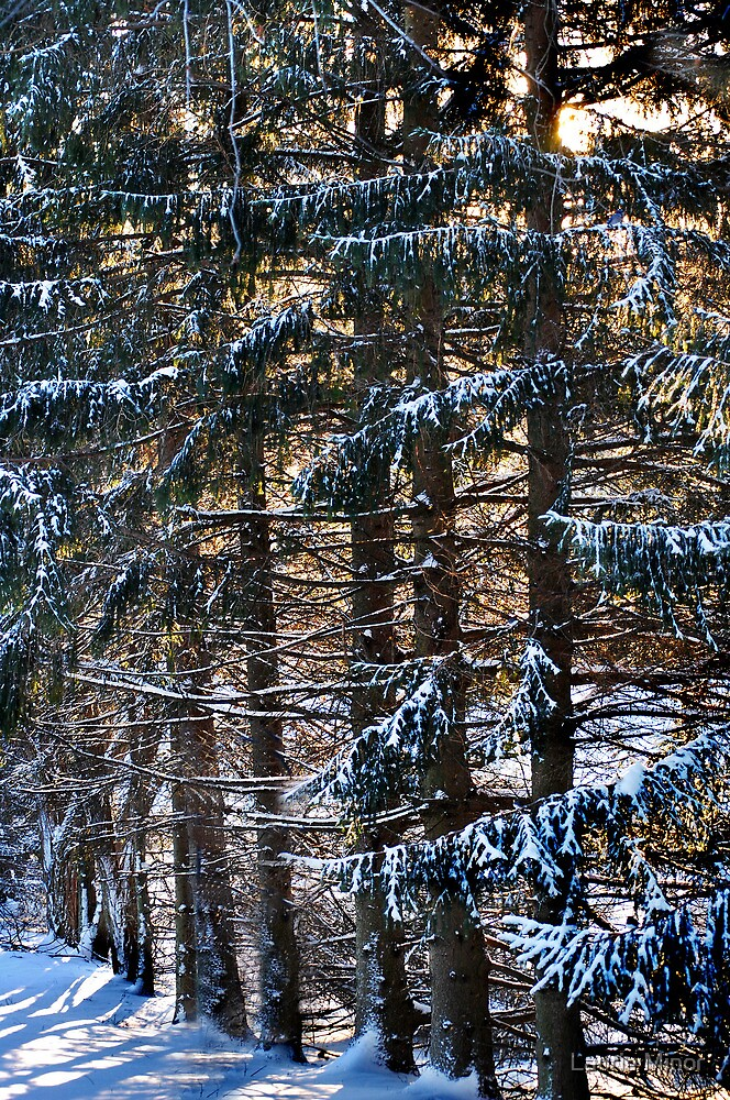 The Pines In Winter by Laurie Minor