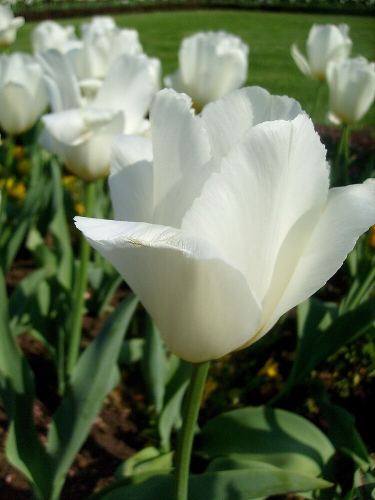 White tulips, delicate tulips.... by Ana Belaj
