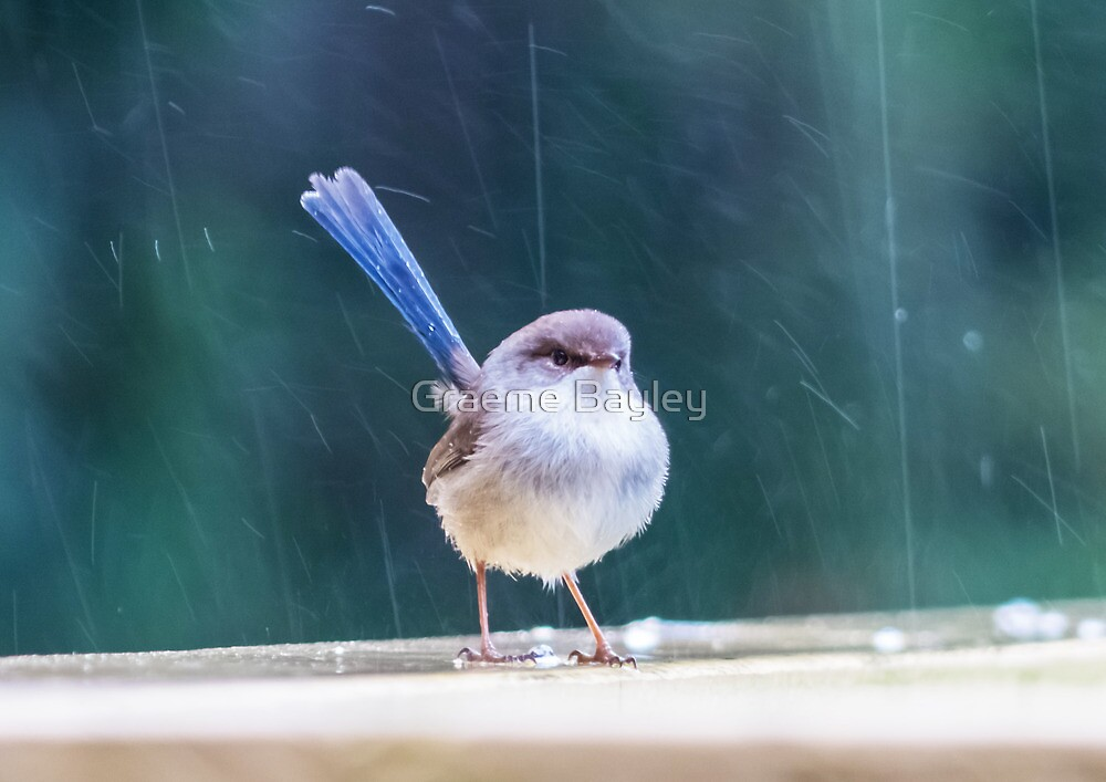 Australian Fairy-Wren by Graeme Bayley