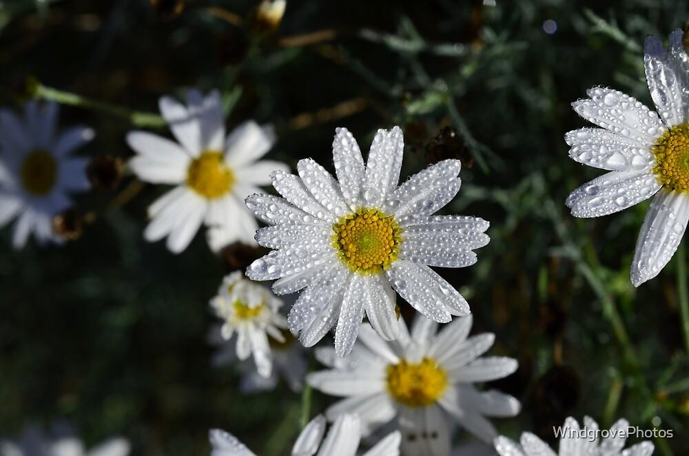 The Daisy by WindgrovePhotos