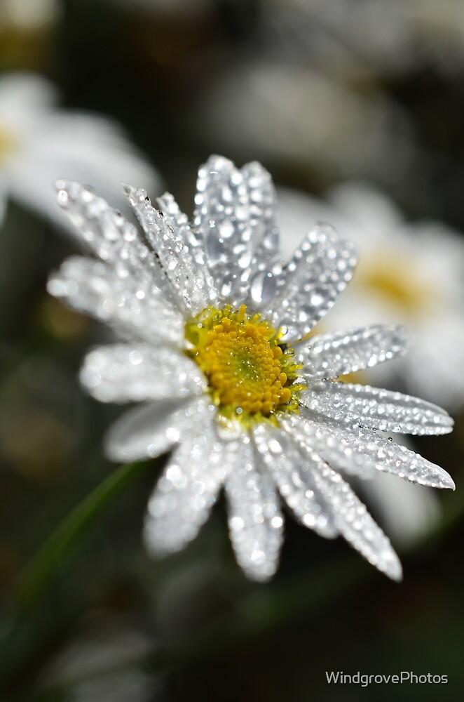 The Daisy 2 by WindgrovePhotos
