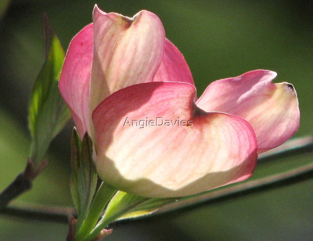 Pink Dogwood, Princess of Spring  by AngieDavies