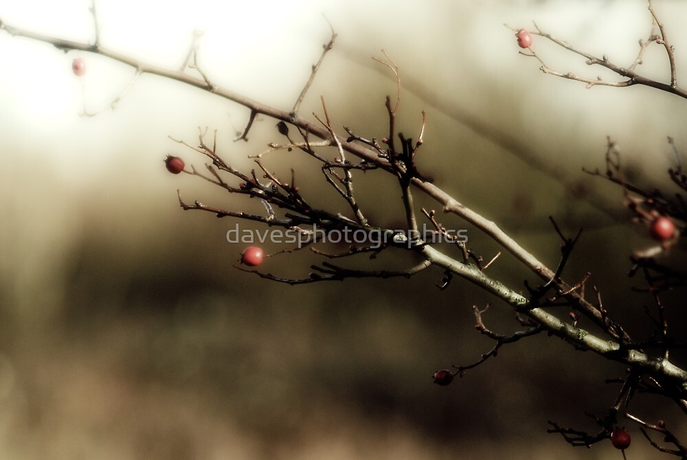 Red berrys by davesphotographics