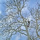 American Sycamore Branches Against a Winter Sky by Jane Neill-Hancock