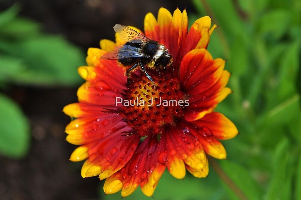Bee on a Blanket Flower by Paula J James