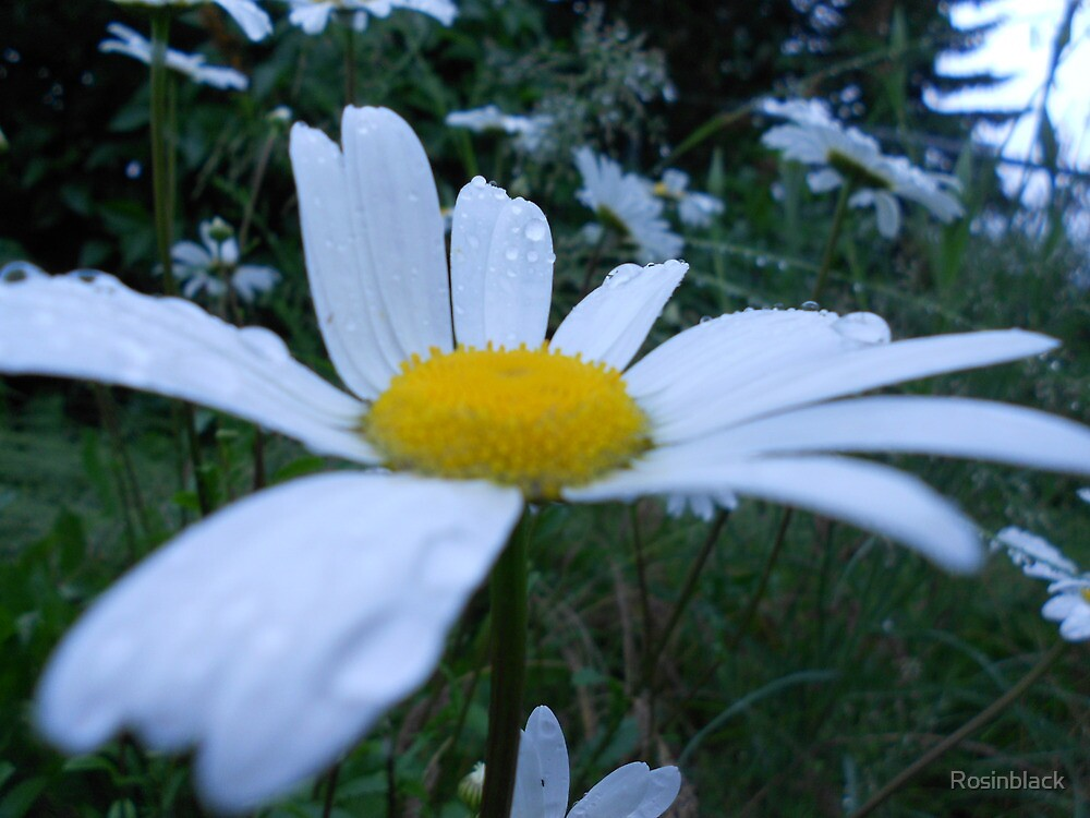 Crystal Daisy by Rosinblack