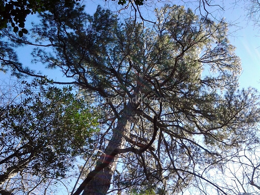 Loblolly Pine by dunesanddesires