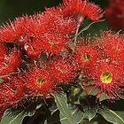 flower-eucalyptus-red-flora by Joy Watson