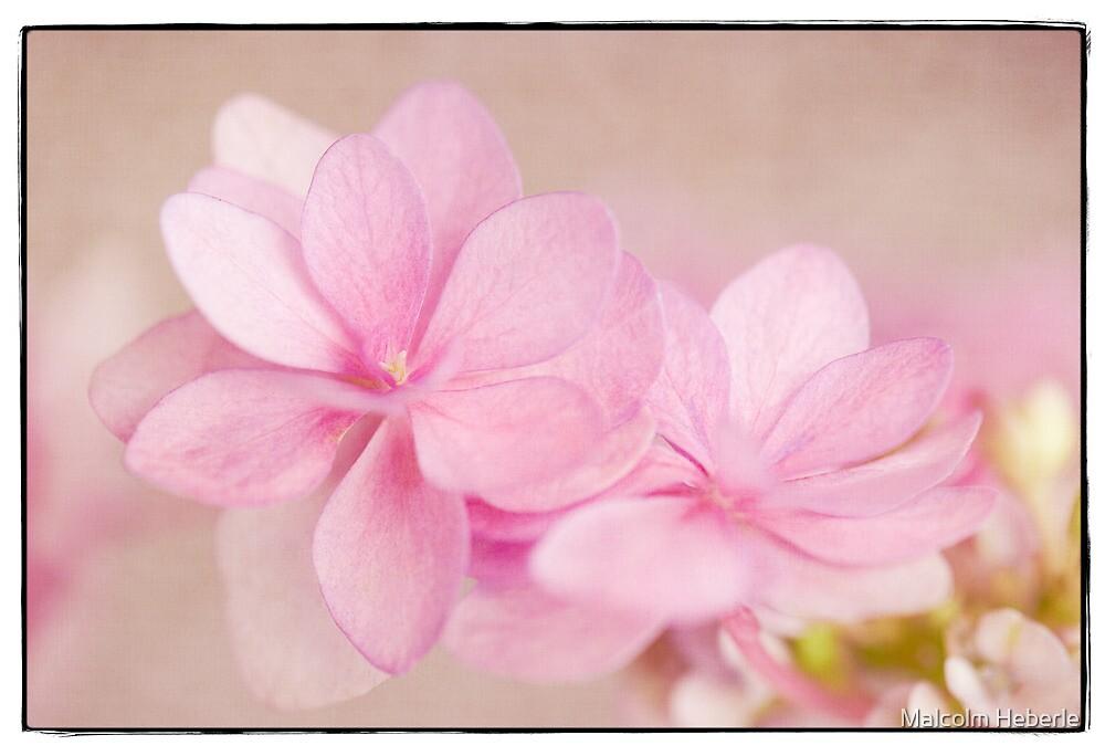 Still Life # 34    - Hydrangea Pastel by Malcolm Heberle