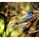 Welcome Swallow and mate. by Yanni