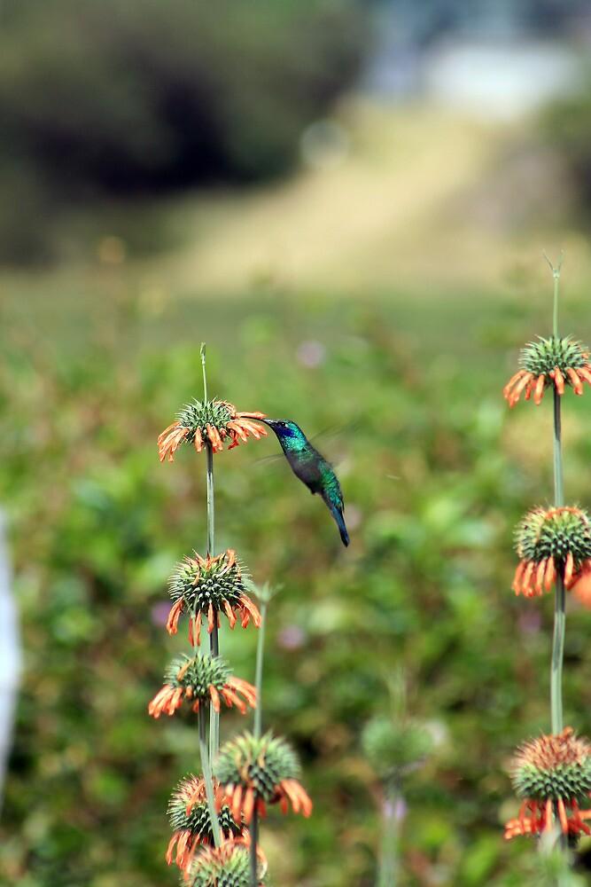 Sparkling Violetear Hummingbird Pollinating Plant by rhamm